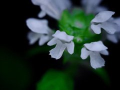野辺で見つけた小さき花 P1290162zz