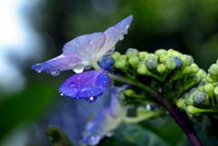 やっぱり紫陽花には雨が似合う IMGP6566zz