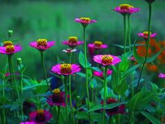 咲き競う P1390792zz