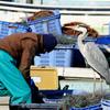 漁師とアオサギ P1190983zz