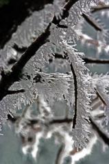 樹霜 IMGP5145z