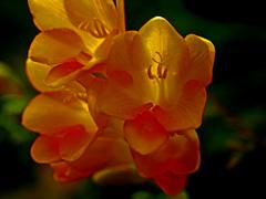 透ける花弁 P1160004zzz
