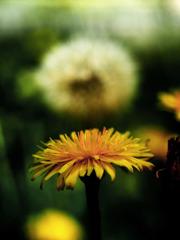 野に咲く黄色き花 P1220558zz