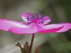 庭に咲いたアネモネ P1230592zz
