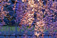 小諸の夜桜 IMGP9171zz