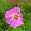 ピンクのコスモスの花言葉は「純潔」