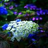 梅雨の 饗宴 P1280718zz