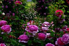 花園の彼方(後ピン) _IGP6373zz