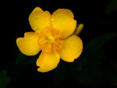 黄色い花 P1160507zz