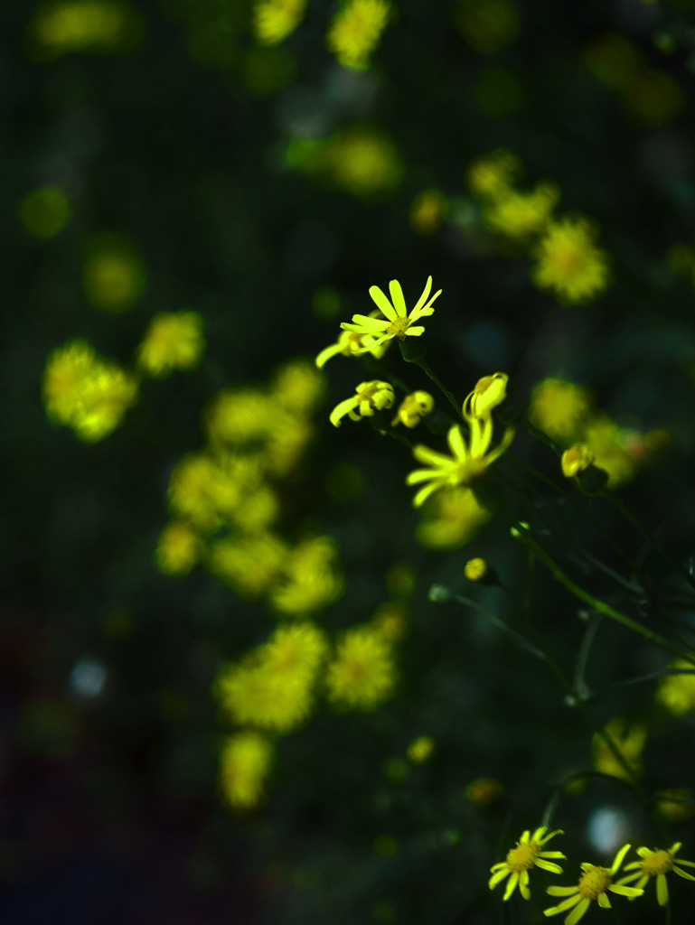 道端で咲いていた小さき花 P1470471zz