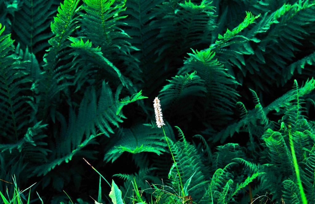 深緑の中のイブキトラノオ IMGP4671zz