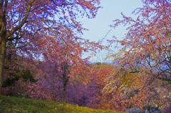 桜の花園 _IGP4584z