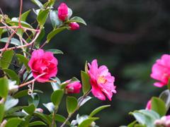 山茶花が咲いていた P1160459zz