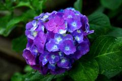 雨に咲く花(青) IMGP6594zz