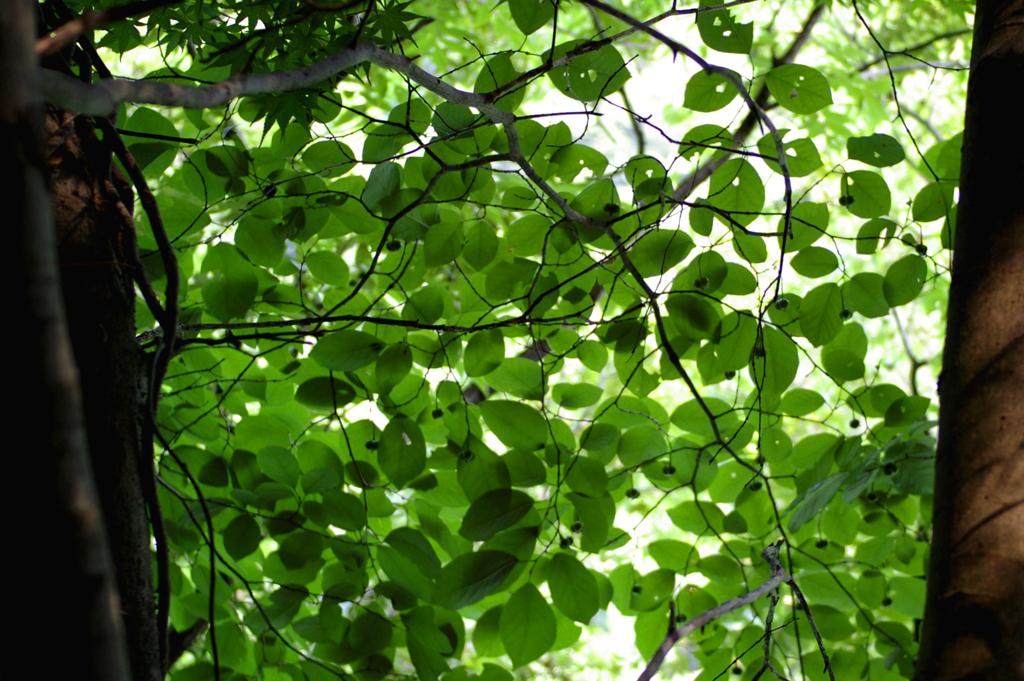 木の葉のカーテン