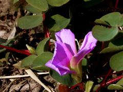 紫色のオキザリス  P1190707zz