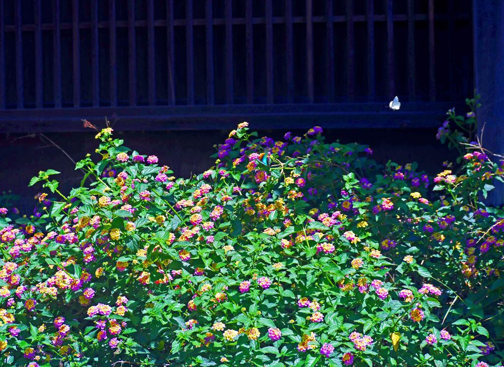 玄関先の花園 P1270640zz