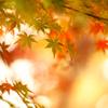 ふんわり紅葉