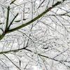 雪の積もった紅葉の木