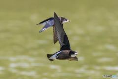 ハリオアマツバメの飛翔