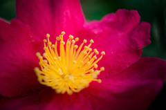 Tears of camellia