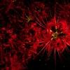 Scarlet fireworks