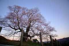 千年桜の記憶