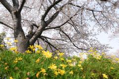 桜 2021_4