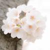 桜 2021_3