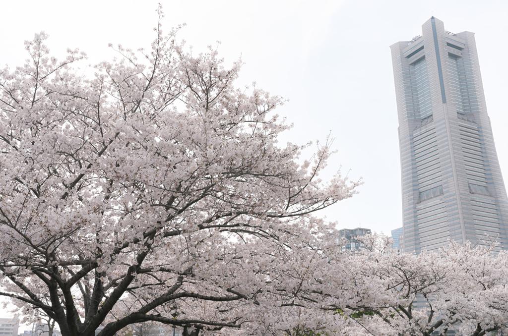 桜 2021_5
