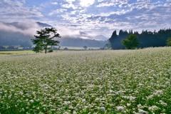 そば畑の朝