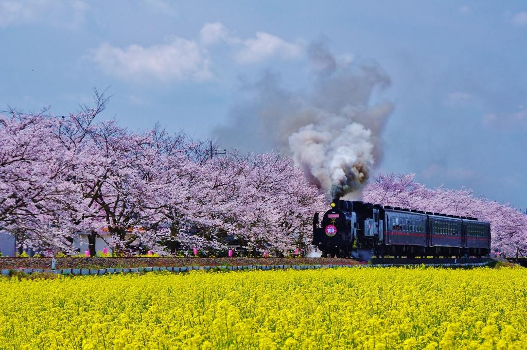 真岡鉄道 桜と菜の花とSL by ジャックSP (ID:1750802) - 写真共有サイト:PHOTOHITO