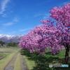 残雪の山々と桜