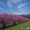 朝日連峰と桜