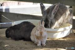 ウサギは正義