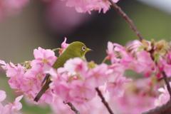 桜の花の上で