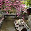 木屋町の八重桜