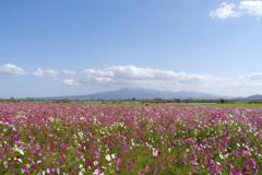 コスモス畑と雲仙岳