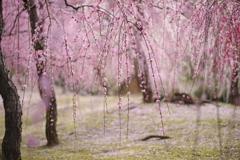 しだれ梅の春