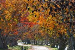 櫨の並木道