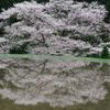 桜を映して