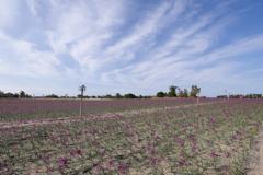 ラッキョウの花畑