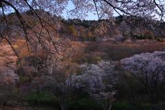 夜明けの山桜