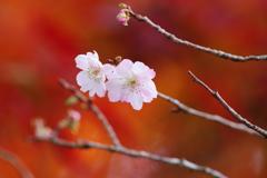 紅葉と不断桜