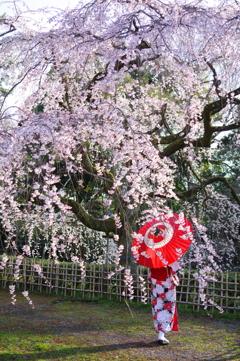 桜シーズン 2