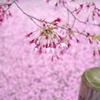 おかめ桜、散り模様