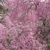 原谷苑の桜1