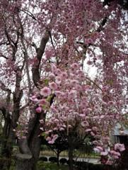 北大の枝垂桜