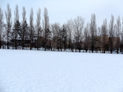 ポプラ&雪