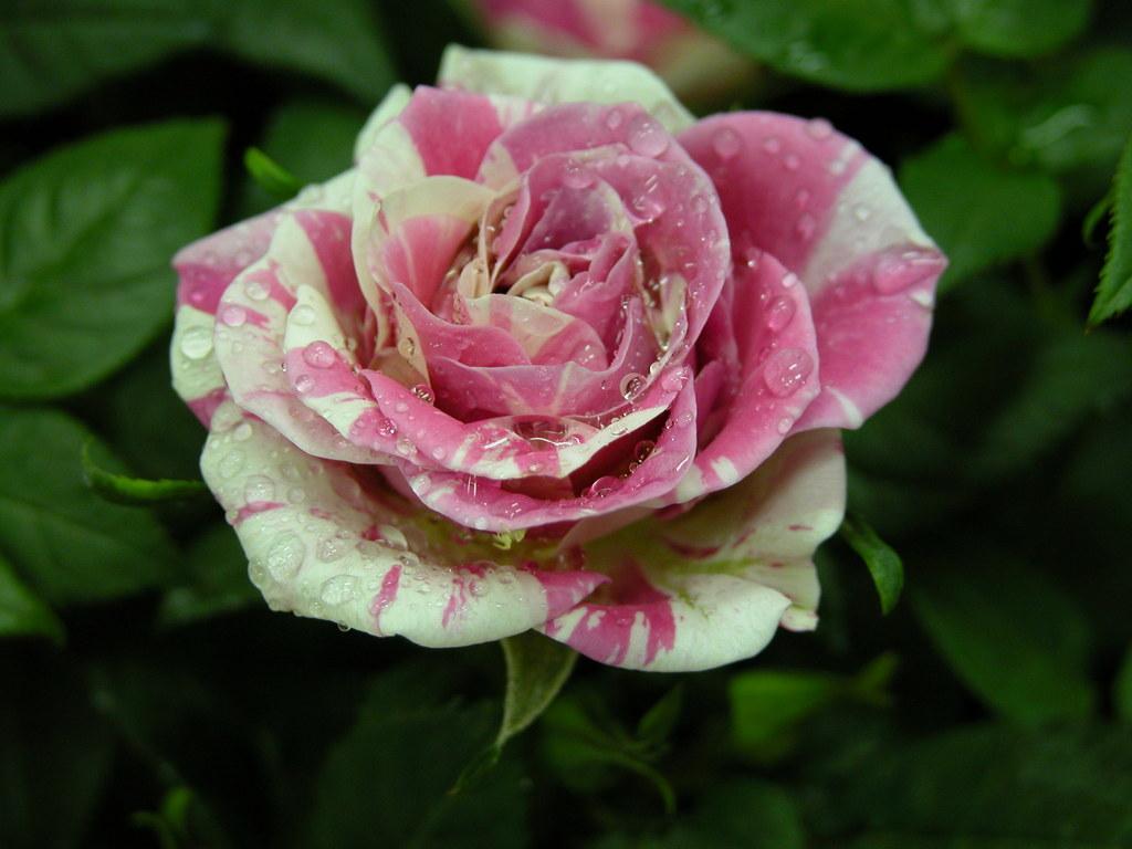 薔薇・・・